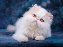 кот, глаз, persian