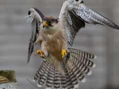 перепелятник, птица, falcon