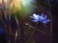 василек, blue, цветы