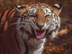 ухмылка, тигр, глаза