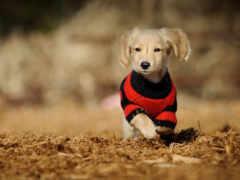 dachshund, волосы, собака