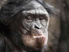 oir, обезьяна, caddis