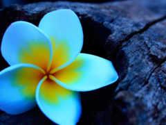 plumeria, плюмерия, frangipani