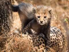 гепард, животные, animal