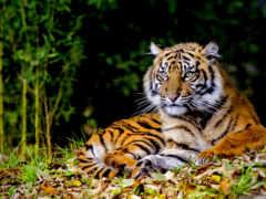 чёрно, тигр, белые