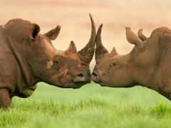 rhino, unique, сохранение