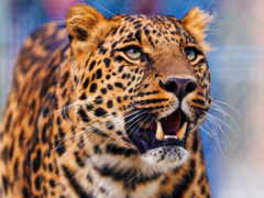 леопард, оскал, агрессия