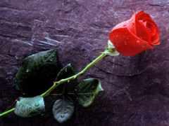 rosa, vermelha, parede