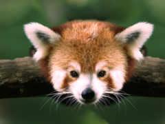 панда, красная, малая