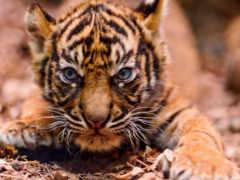 тигр, small, злая