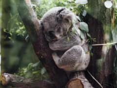 коала, австралия, огонь