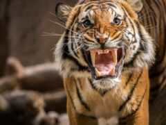 тигр, злой, funart