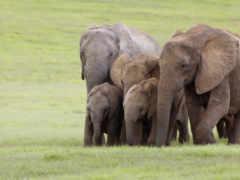 elefanti, ди, африка