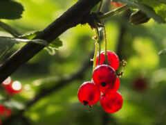 плод, ягода, природа
