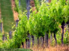 vineyard, вино, ukraine