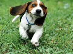 собака, порода, beagle