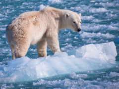 медведь, polar, rub