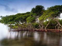 леса, мангровые, лесов