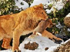lion, print, amazon