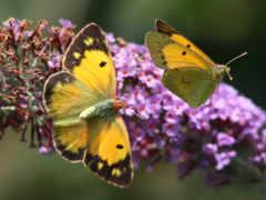 бабочки, бабочка, цветах