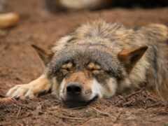 animal, волк, art