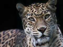 леопард, wild, кот