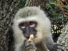 обезьяна, ape, barbary