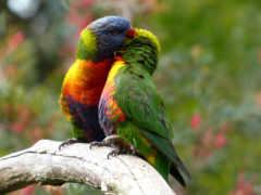 попугаи, pair, птицы