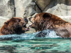 медведи, grizzly, страница