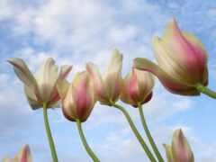 down, под, тюльпан