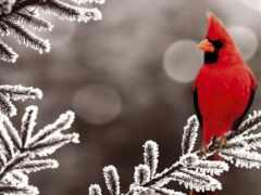 кардинал, птица, funart