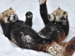 панда, панды, красная