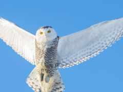 сова, полярная, крылья