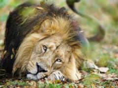 lion, masai, биг