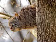 кот, дерево, wildcat
