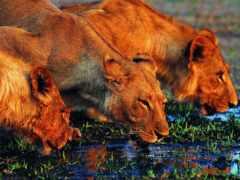 львы, lion, водоема