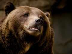 медведь, морда, portrait