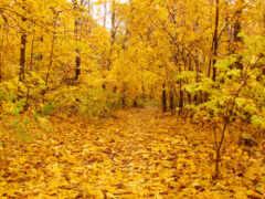 осень, золотистый, лес