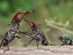 жук, лань, жуки