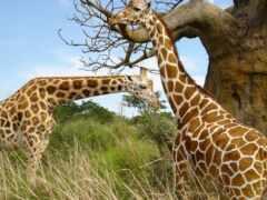 африка, zoo