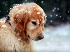 золотистый, retriever, собака Фон № 152889 разрешение 1920x1200