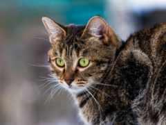кот, фотографий, короткошёрстная