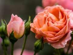 cvety, розы, flowers