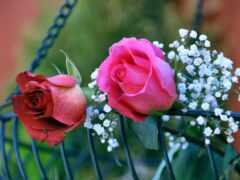 цветы, роза, oir