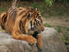 harimau, абстрак, lukisan