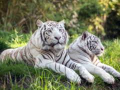 tigers, white, zhivotnye