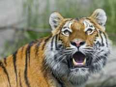 кошки, кот, тигр
