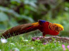 золотистый, pheasant, природа