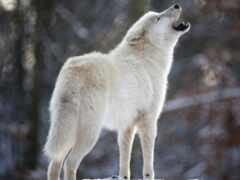 волк, white, вой