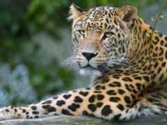 leopardo, fondo, pantalla